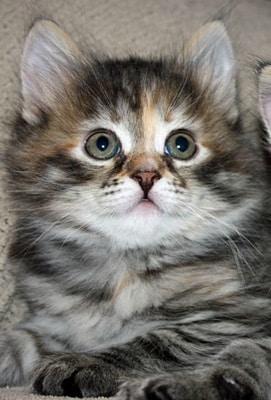 Female Siberian cat Calina as a kitten