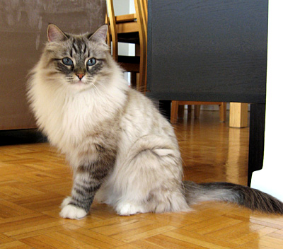 Mari - Female Siberian Cat