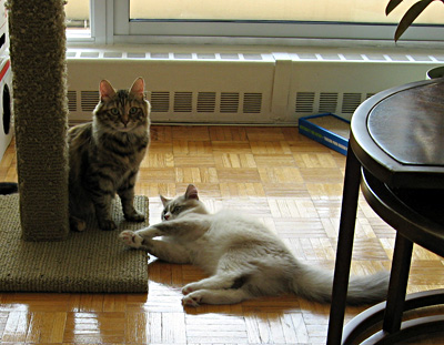 Siberian cats Calina and Harley discussing