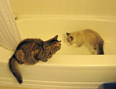 Siberians in bathtub