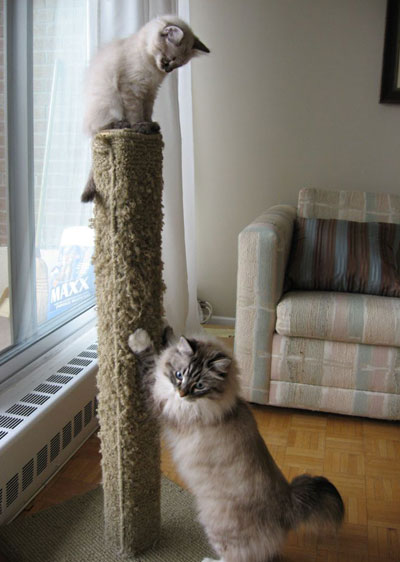 Siberian kitten Elmo and Siberian cat Mari at the scratching post