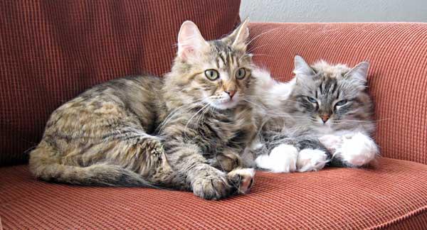 Siberian cats Calina and Mari