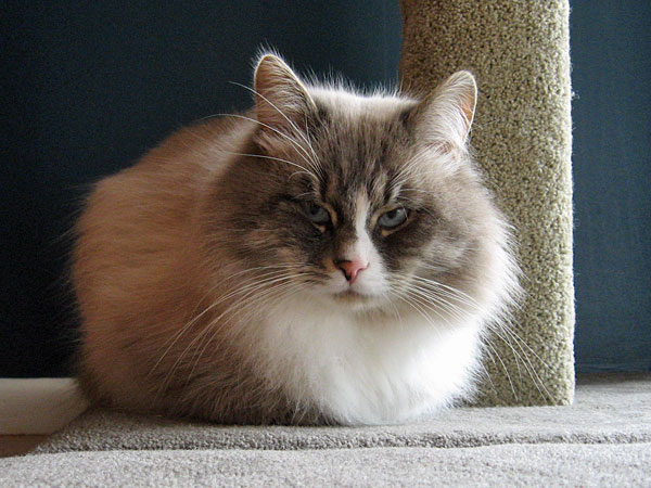 Male Siberian cat Harley