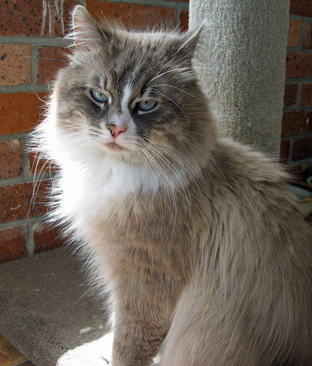 3-year-old male Siberian cat Harley