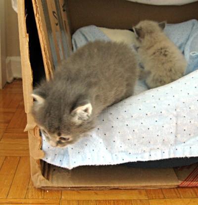 Siberian kitten Elu leaves the nest for the first time