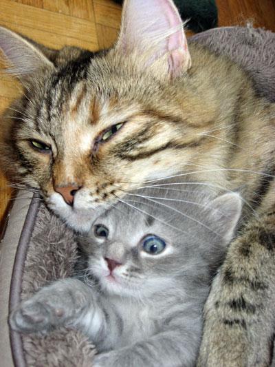 Siberian kitten Elu with his mum Calina