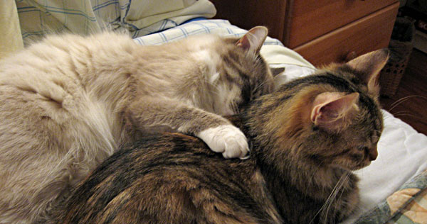 Cuddling Siberian cats Harley and Calina