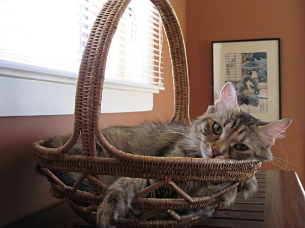 Siberian cat Calina in a basket