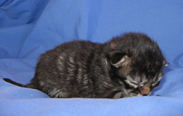 Alexander - a male black tabby Siberian kitten