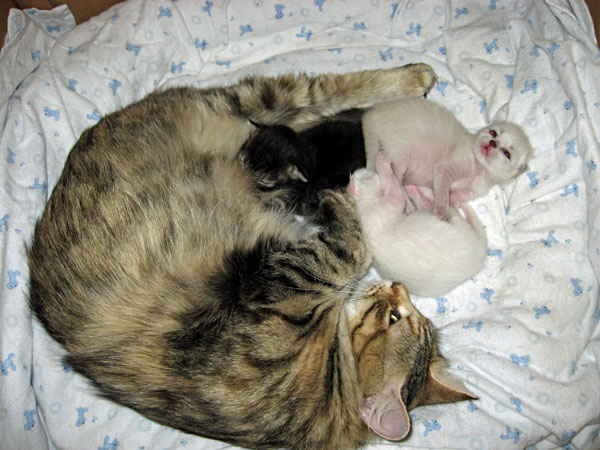 Siberian cat Calina with her second litter