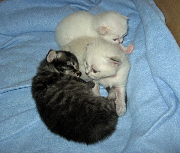 13-day-old Siberian kittens