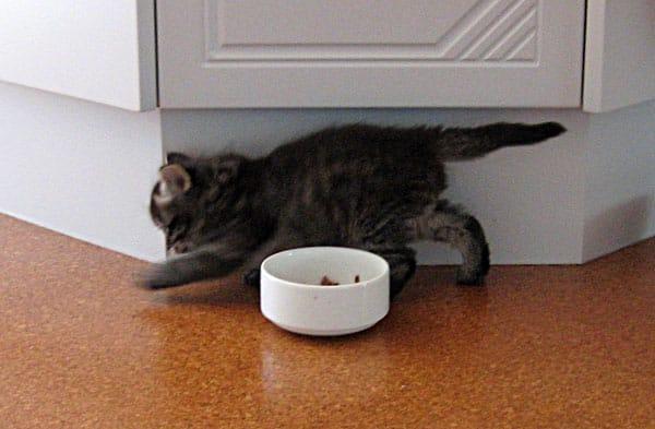 Siberian kitten Alexander at 4 weeks old.