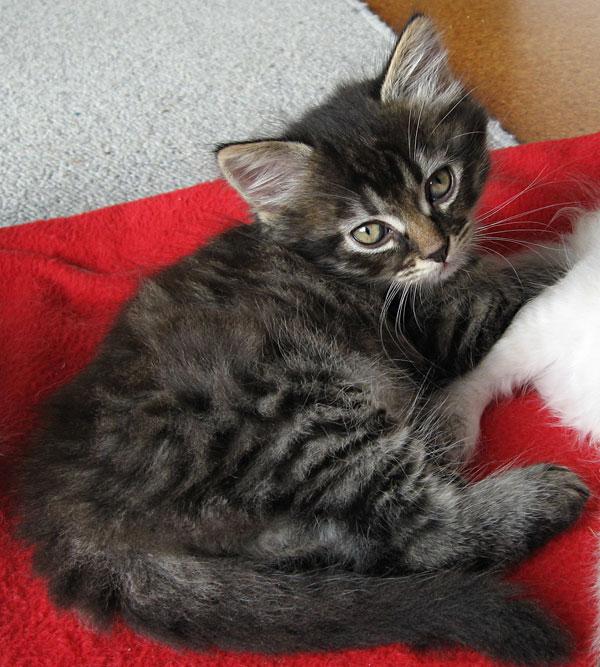 Siberian kitten Alexander at 6 1/2 weeks