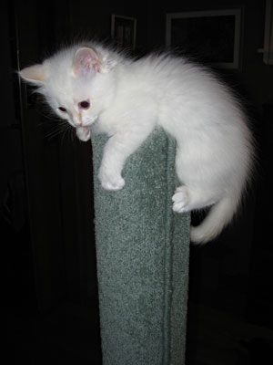 Siberian kitten at top of scratching post.