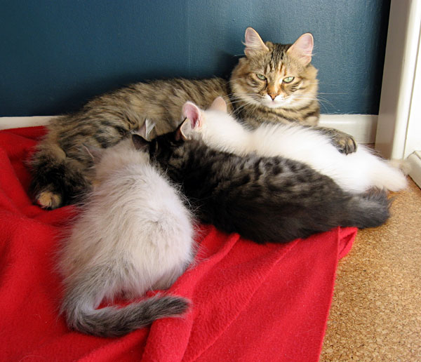 Siberian cat Calina with her 3 kittens aged 9 weeks