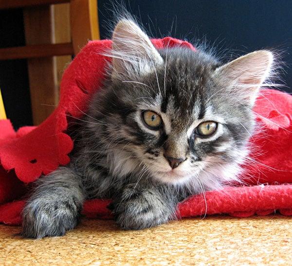 Siberian kitten Alexander at 10 weeks old