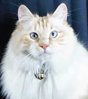 Siberian kitten Baxter (Caesar) at 1 year old