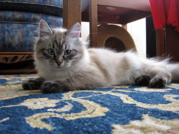 Siberian kitten Ariana at 18 weeks old