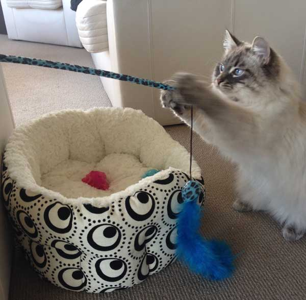 Siberian kitten Stoli with a feather toy