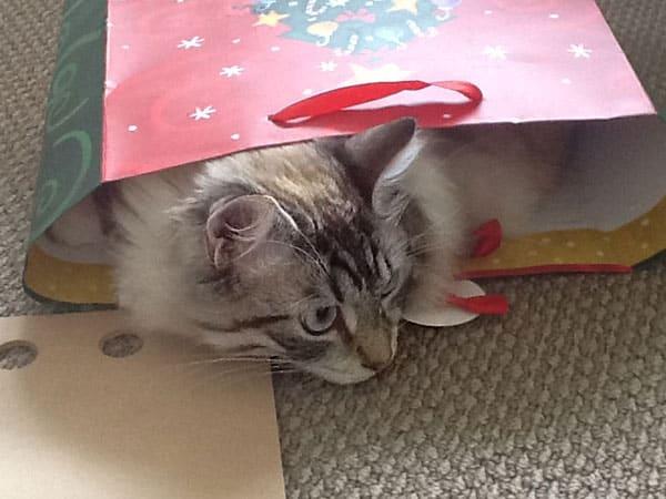 Siberian kitten Archie