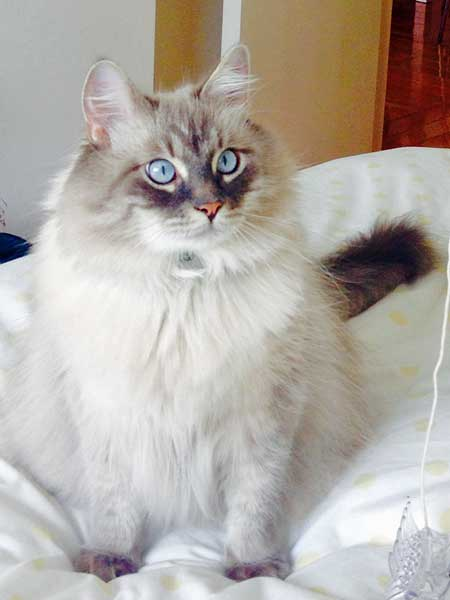 Siberian cat Stoli at 3 years old, 30 Sept 2015
