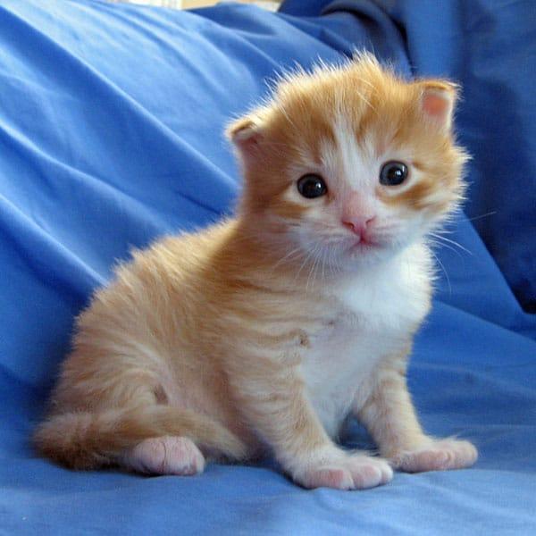 Siberian kitten Barney at 17 days old