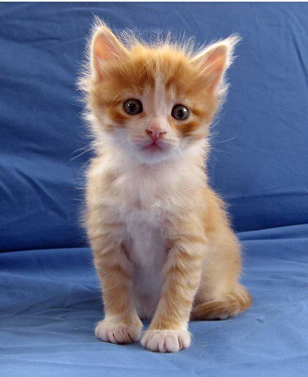 Barney - male ginger Siberian kitten