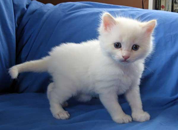 Baxter, male Siberian flamepoint kitten