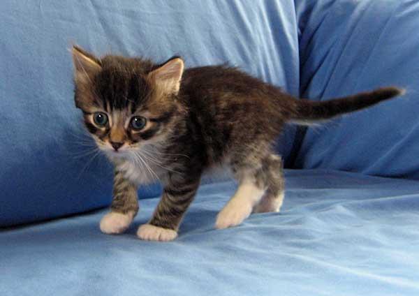 Biko, male tabby Siberian cat