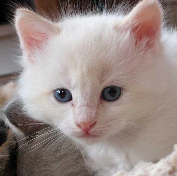 Male flamepoint Siberian kitten Baxter
