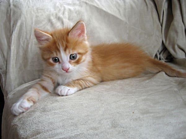 5-week-old Siberian kitten Barney