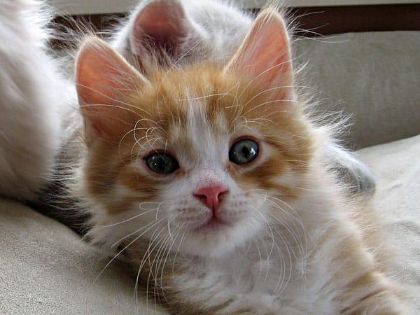 6-week-old Siberian kitten Barney