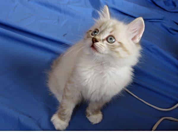 Sealpoint Siberian kitten Byron at almost 9 weeks old.