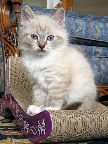 Sealpoint Siberian kitten Byron at 8 weeks old.