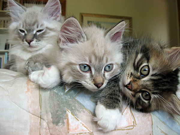 Siberian kitten Byron with Bailey and Biko at 10 weeks old.