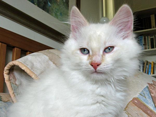 Siberian kitten Baxter at 10 weeks old.