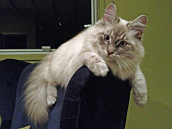 Siberian kitten Stoli at six months of age