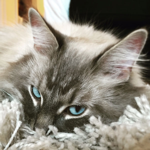 Siberian cat Stoli at 3 years old, June 2016