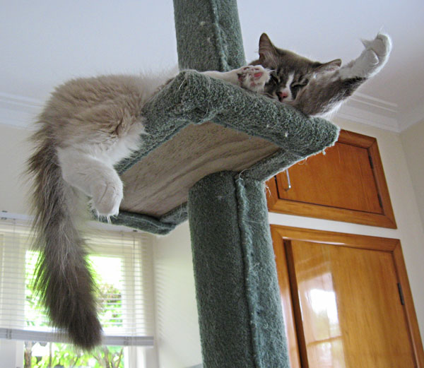 Siberian cat Harley asleep on a scragtching post
