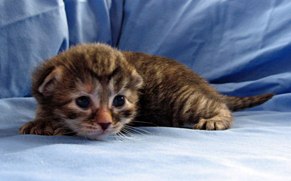 Female torbie Siberian kitten 'Coco' at 11 days old