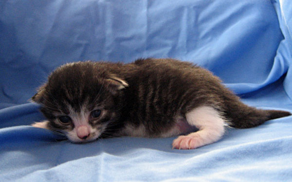 Female black tabby with white Siberian kitten 'Crissa' at 11 days old
