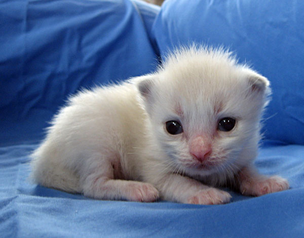 Male sealpoint Siberian kitten 'Catia' at 11 days old