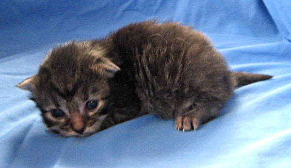 Female brown tabby Siberian kitten 'Cleo' at 11 days old
