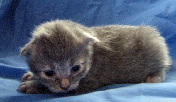 Female grey Siberian kitten 'Caci' at 11 days old