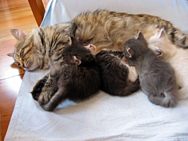 C Litter Siberian kittens nursing