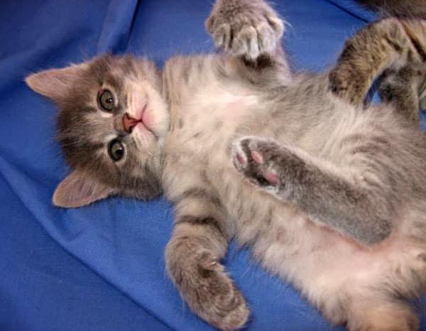 Female Siberian kitten Caci