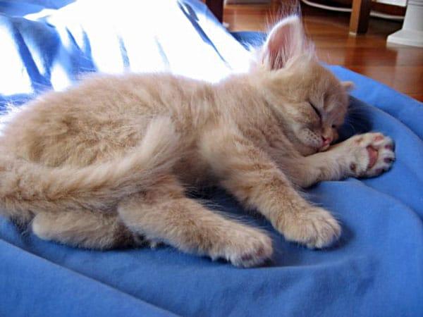 Male Siberian kitten Cosmo