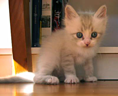Female Siberian kitten Catia
