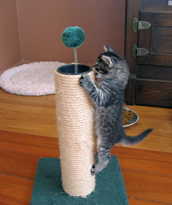 Siberian kitten 'Cleo' tackles the junior scratching post