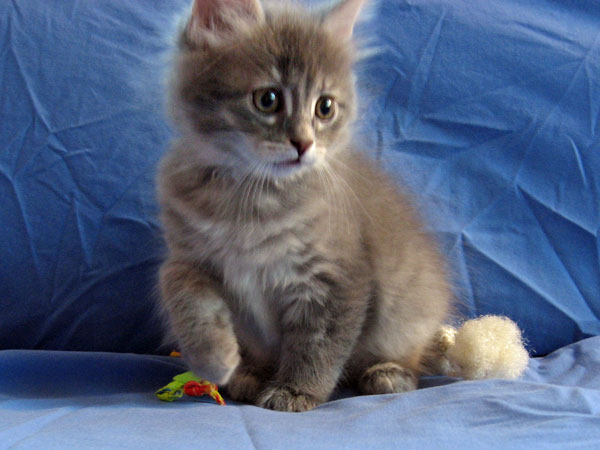 Female Siberian kitten Caci at 7 weeks old